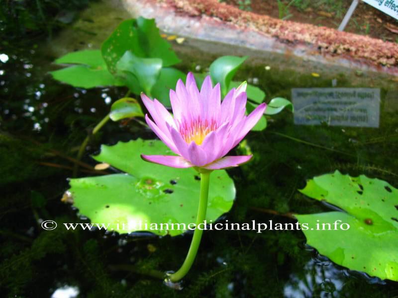 Nymphaea-stellata-Lotus