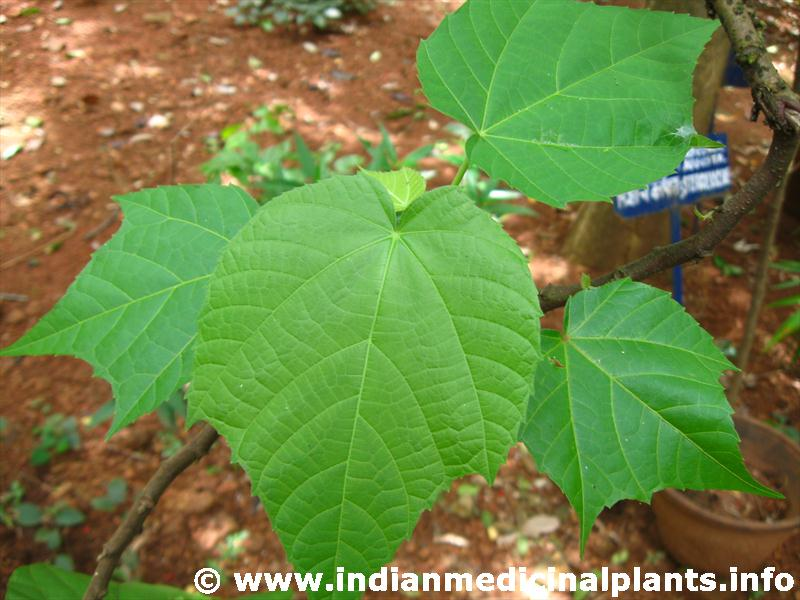 Abroma Augusta Medicinal Uses