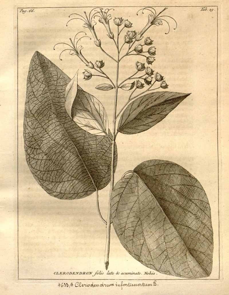 Clerodendrum_infortunatum